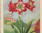 Amaryllis. 1926 country cottage garden old fashioned botanical color lithograph print