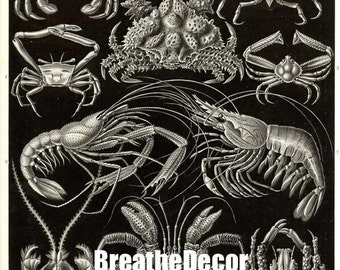 Black and White Crustacean Antique Illustration Digital Download Art Print Ernst Haeckel