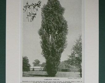 1930 Vintage Print Of A Lombardy Poplar Tree - Botanical Print - Nature Print - Botany Print - Natural History Print - Antique Print