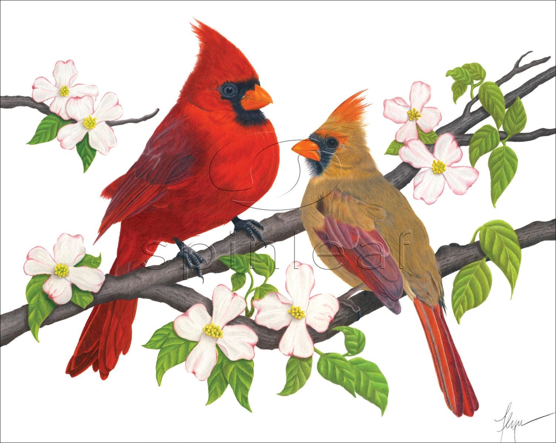 Wild life: Cardinal birds wallpaper | wild birds  |Cardinal Bird Drawings