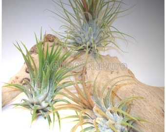 AIR PLANT SET Trio, Tillandsia Air Plants For Sale, Home Decor Indoor Houseplants Thank You Hostess Gift Birthday Gift Housewarming Gift