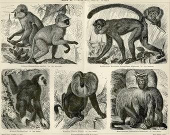 "1892 Matted Monkey Print Antique German Engraving 16x12"" Primates Natural History Zoo Animal Ape Gibbon Jungle"