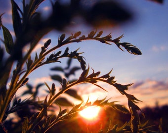 Nature photography - sun - sunset - warm - sky - behind - crops - summer - afternoon - print