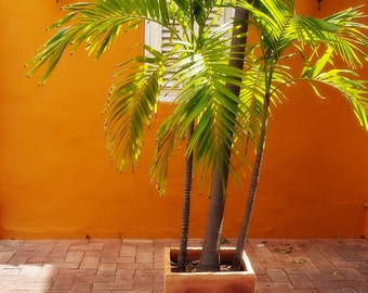 Palms in Clay Planter in Island Courtyard, Lanterns, Willemstad, Curacao, Caribbean, Fine Art Photograph for Your Home and Office Wall Decor