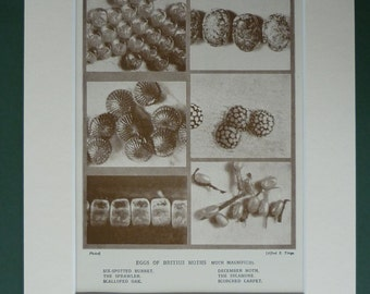 1930 Vintage Print Of British Moth Eggs - Entomology Print - Insects - Sepia Photograph - Natural History - Science & Nature Print - Photo