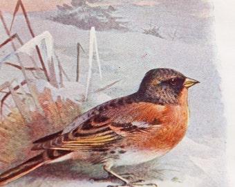 Brambling, Mountain Finch, Bramble Finch Print, Antique Bird Illustration, Housewares, Paper Goods, Home Decor - Colour Drawing, A. Thorburn