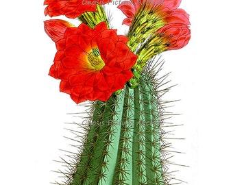 Vintage Botanical Art Print Red Flowering Cactus No.2 Southwestern Summer Desert Wall Decor Wedding Gift Wall Hanging Art Print 8x10