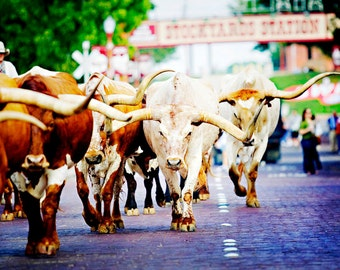 Texas Longhorns - Texan Photography - Fort Worth Photos - Stockyards - Travel - Animal Prints, Cattle Drive, Cowboy Photography, Texan2