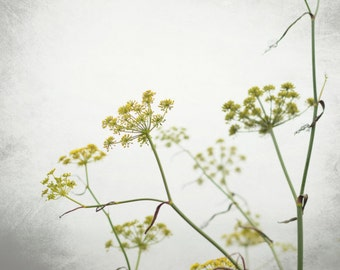 Botanical photography print white yellow minimal wildflowers print - Fennel