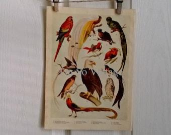 vintage color bird print 1920
