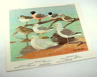 Vintage Bird Prints, Bird Portraits In Color, Allan Brooks, Franklin Gulls, Bonaparte's Gull, Ring -Billed Bull, Glaucous Gull, Wildlife