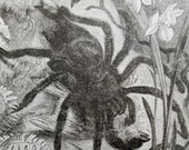 Along Came A Spider' 1887 engraving of Giant Bird-Spider Devouring its Victim