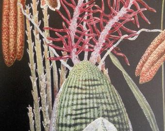 1920s Vintage botanical print, Wildflower Foxtail Grass Magnified, wall art