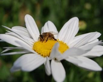 Fairy Daisy and the Bee