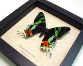 Father's Day Gift Real Framed Sunset Moth Conservation Quality Display 163