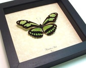 Mother's Day Gift Real Butterfly Green Peru Glider Conservation Display 483