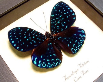 Real Framed Butterfly Starry Night Real Van Gogh Blue Costa Rica 681