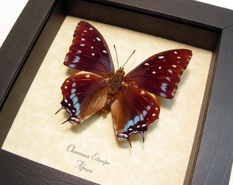Beautiful Charaxes Etesipe Real Framed Butterfly 530