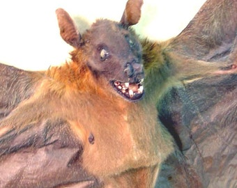 Real Framed Cynopterus Sphinx Wolf Face Short Nosed Indian Fruit Bat Shadowbox Display B1301