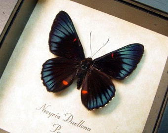 Real Framed Red Spotted Metallic Necyria Duellona Butterfly 712