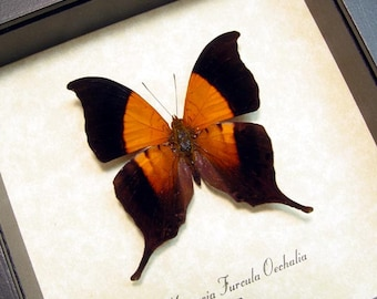 Real Framed Marpesia Furcula Oechalia Sunset Daggerwing Rare Butterfly Shadowbox Display 8181
