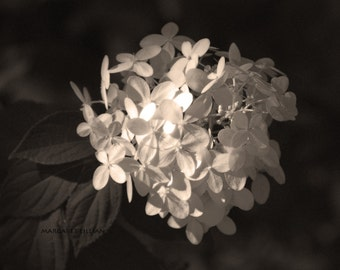 Hydrangea Dreams - 8X10 Fine Art Photograph - flower- sepia - garden photography - home decor