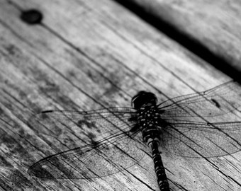 Insect photograph - Dragonfly black and white  fine art photograph