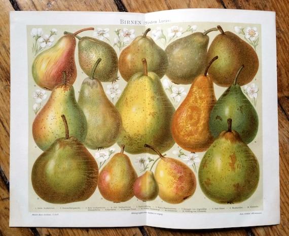 1894 pears original antique fruit print