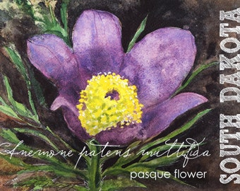 south dakota watercolor aceo state flowers pasque flower anemone patens multifida