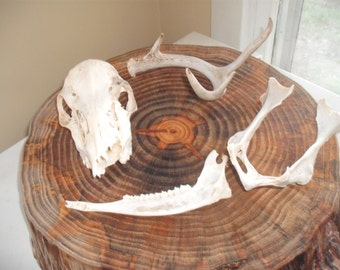 Deer Skull, antler, bones, lot 2