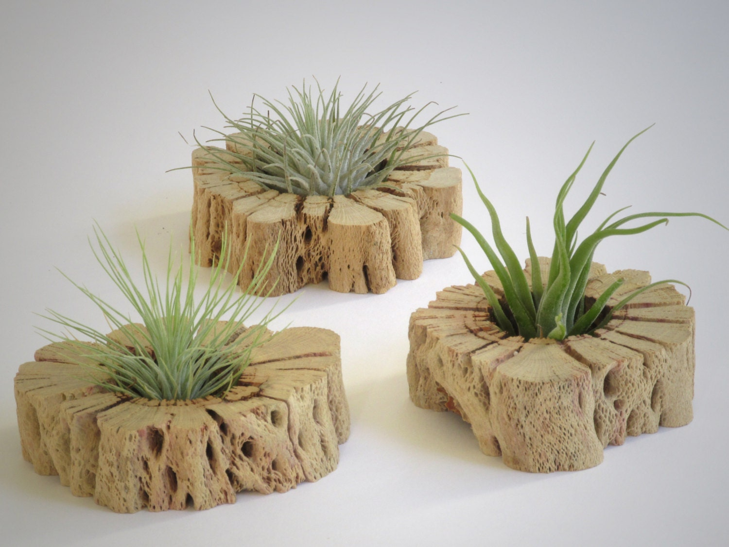 Air plant wall art unique hand cut cactus wood slabs with for Air plant art