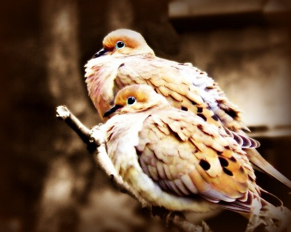 Mourning Dove, Bird Photography white,Gifts under 25,nature lovers,bird,love birds,taupe,brown,couple,adorable,doves,romantic print,sepia