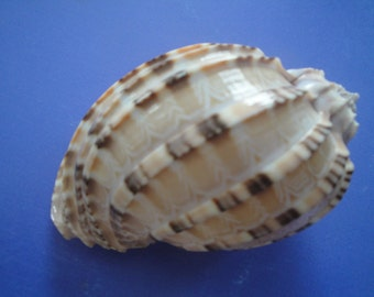 "Sea Shell Seashells 3.2"" Harpa Davidus Philippine Shell"