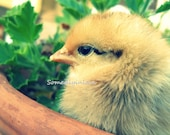 Digital Baby Chick Photograph New Life Instant Download 5 Photographs