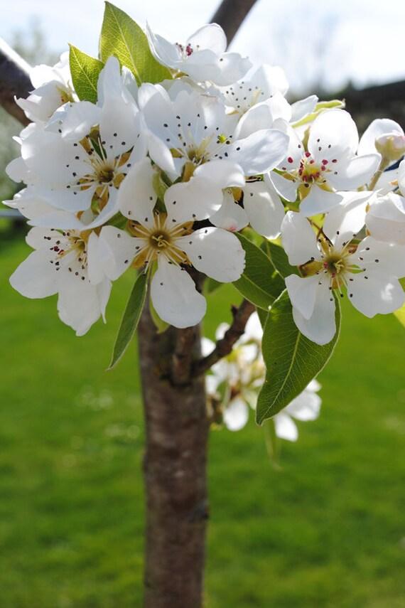 Apple Blossoms, Fine Art Photography Print, White blossoms, Green, Spring Photography, Floral Spring Decor, Wall Art, Blossoms Photo Prints