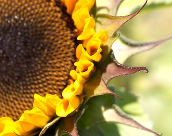Sunflower photo, sunflower canvas, sunflower print, floral photo, floral print