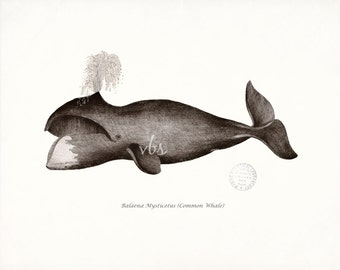 Antique Whale Print - Common Whale Natural History Nautical Style Wall Decor 10x8