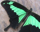Real Butterfly Wings for crafting and art projects - Papilio Phorcas