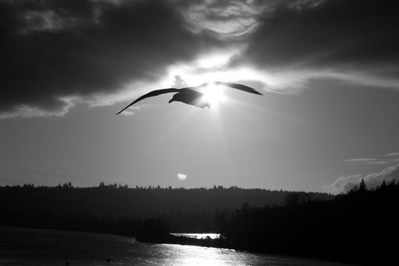 Black and White, Flying Seagull - 11 X 14 Print