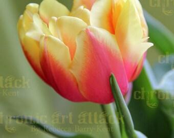 Tulip  Study 12 Flower Fine Art Photograph