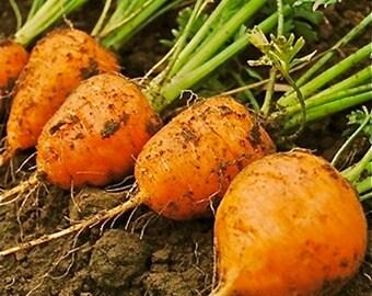 """Carrot Seeds - """"Atlas"""""""