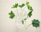 St. Patrick's Day Four Leaf Clover 4x6 Original Fine Art Photography