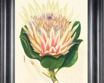 BOTANICAL PRINT ANDREWS 8x10 Botanical Art Print 2 Antique White Pink Lotus Water Lily Large Blooming Flower Lake Garden to Frame