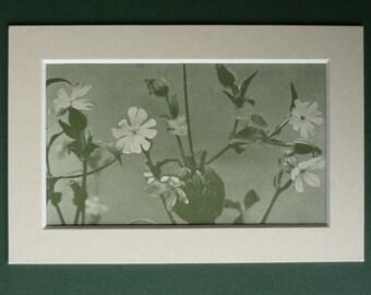 1950 Vintage Print Of White Campion Wild Flowers - Woodland Print - Botany - Nature Photography - Natural History Print - Botanical Print