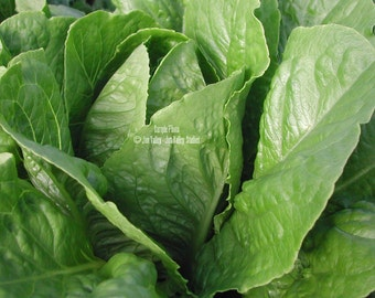 Parris Island Cos Lettuce 1000 Seeds Heirloom Romaine type sweet light green yellow center Uniform heads Excellent for salads