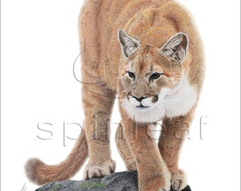 Cougar Art Print -- Wildlife Art Print of Cougar on Rock Pencil Illustration, 8x10, 11x14