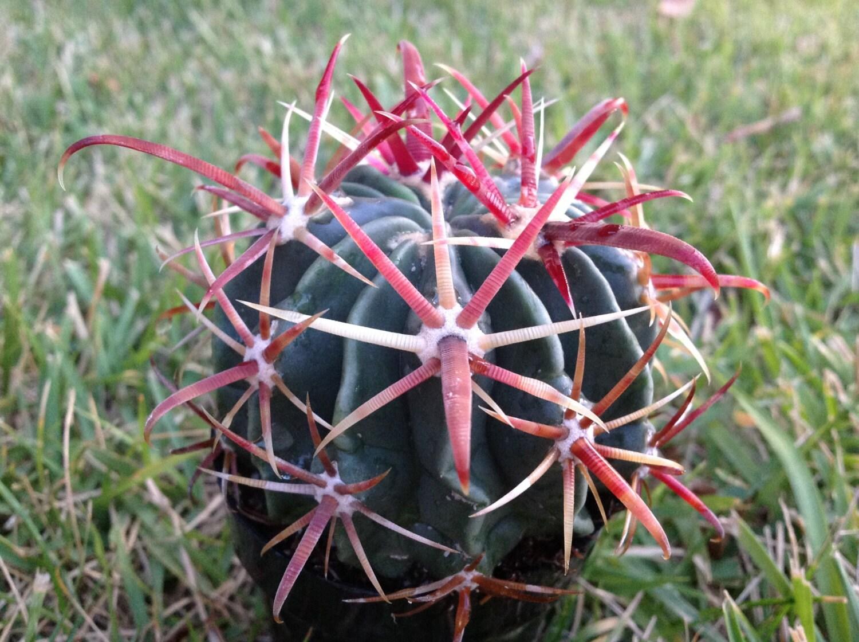 Barrel Cactus Cactus Plant Barrel Cactus