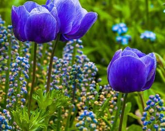 Blue tulips at Longwood Gardens, Pennsylvania  - Garden Nature Photography Fine Art Print or Wrapped Canvas Home Decor