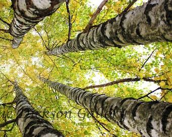 Golden Fall Birch Trees Fine Art Digital Nature Photography