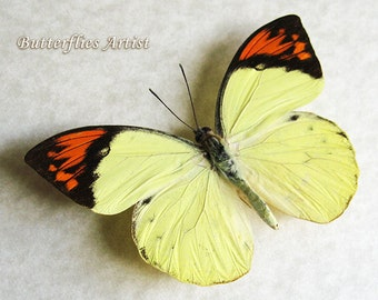 Great Orange Hebomoia Glaucippe Real Butterfly Framed In Shadowbox